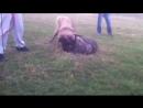 Собачьи бои Шарпланинак / Югославская Овчарка vs питбуль (канарский дог)