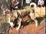 Собачьи бои кавказский волкодав Борзик vs питбуль