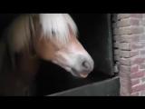 Хафлингер пони лошадь пердит! Пукает! Мило и убедительно
