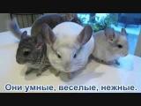 Шиншиллы -  забавное видео о шиншиллах )