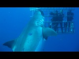 Worlds Largest Shark 7-Metre-Long Deep Blue Believed To Be Biggest Ever