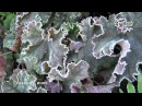 Гейхера в осеннем саду Сорта питомника SV сад