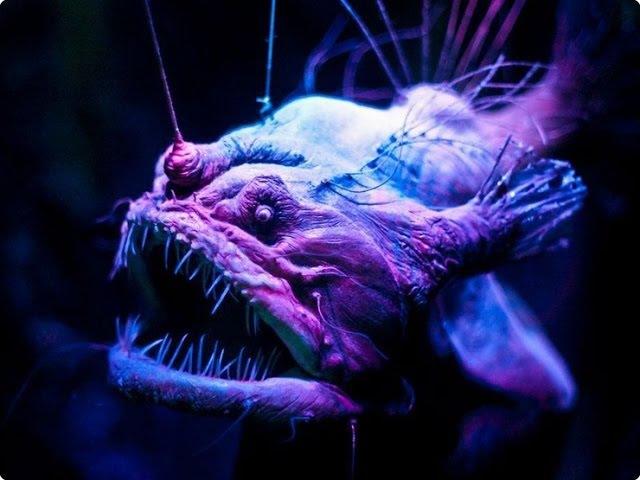 Рыба удильщик или морской черт