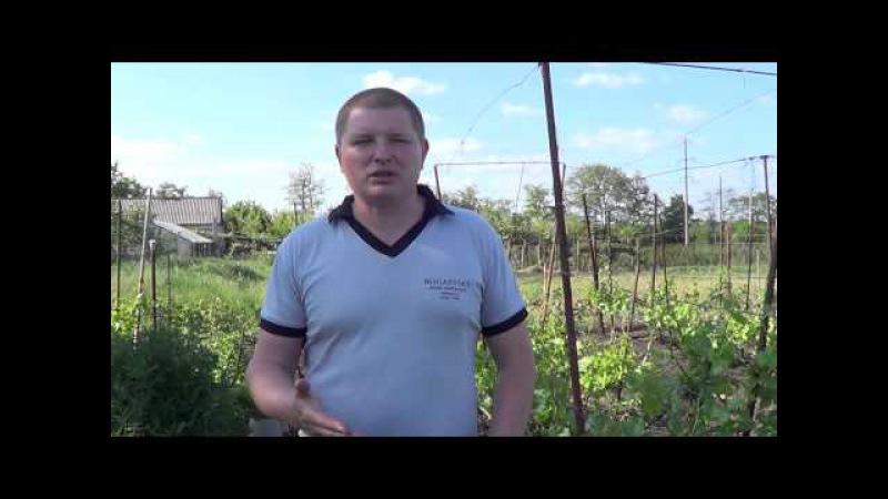 Работа на виноградниках. Май. Виноград 2015.