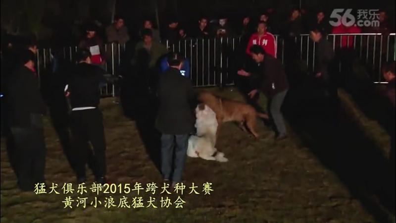 Собачьи бои Турнир в Китае 2015 САО алабай vs тоса-ину