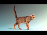 Abyssinian cat walk cycle animation