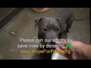 Спасение собаки питбуль 3