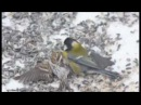Parus major hunted down Carduelis flammea in Finland