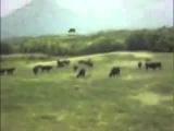 Как НЛО похищает корову Интересное, страшное и невероятное видео, явление