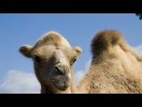 В мире животных  Ариэль Рамирес  'Жаворонок'