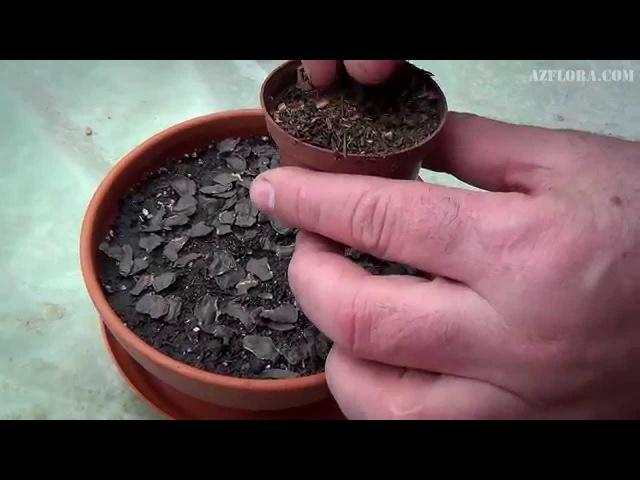 Размножение Гиппеаструма семенами. Уход за сеянцами