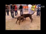 Bully kutta VS pitbull (булли кутта питбуль собачьи бои)