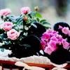 Роза и фиалка