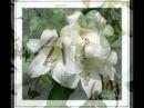 Александр Шапиро- Белые цветы (клип)