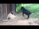 Хохма дня: нервный козел испытал на прочность нервы собаки