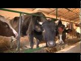 «Сельский порядок». Молочное животноводство в регионе (10.12.2014)