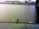 Белые и черные лебеди в Чебоксарах