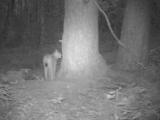 Полистовская рысь обследует нору барсука