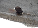 Bald Eagle swimming to shore with a Coot for lunch..Immature Eagle takes Coot, Kelowna BC