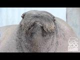 Death Metal Walrus