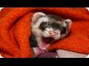 Смешные Хорьки / Funny Ferrets / Забавная Видео Подборка! Смешные Животные /