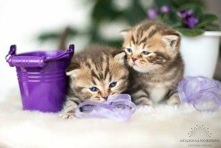 Манчкин: фото кошки, цена, описание породы, характер