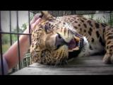 Леопард мурлычет, как мотоцикл