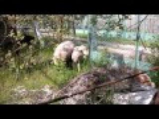 атака стада баранов