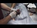 Кесарево сечение у Французского бульдога Моники
