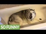 Stubborn Husky throws hilarious temper tantrum