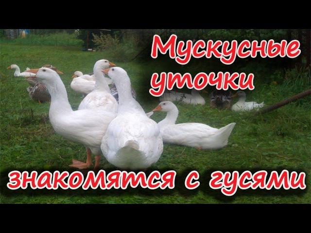 Мускусные утки знакомятся с гусями