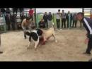 собачьи бои Тобетов Алабай Казахстан - Тайпан vs Rex Rexa сняли с боя, TAIPAN....360