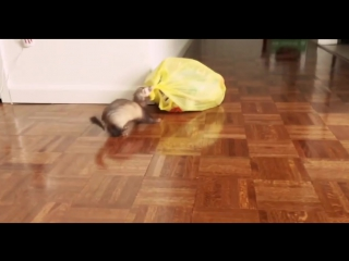 Хорьки выбрасывают мусор