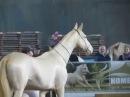 Horse show Minsk march 2016 | Выставка лошадей Минск Март 2016 - Показ пород: Ахалтекинская