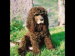 Ирландский водяной спаниель, все породы собак, 101 dogs. Введение в собаковедение.