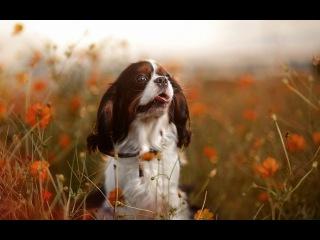 Кавалер Кинг чарльз спаниель, все породы собак, 101 dogs. Введение в собаковедение.