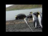 Пингвины против веревки (Vine Video)