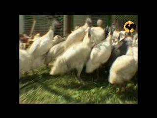 Живой дом серия  94 ЦЕСАРКА - ЦАРСКАЯ КУРИЦА