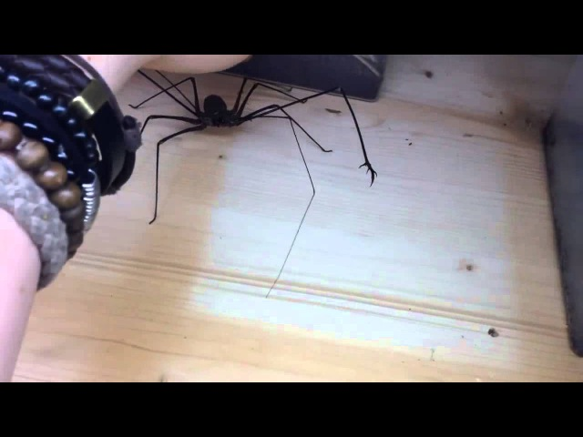 Хозяин играет с милым жгутоногим паучком