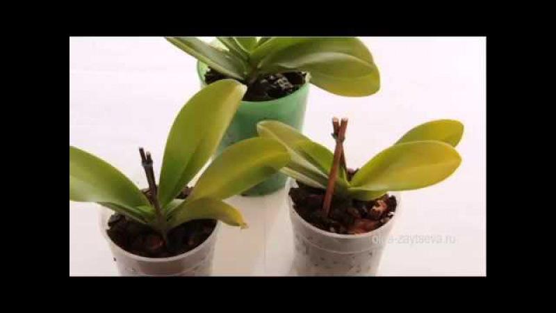 Размножение орхидей. Отделение деток.