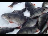 Рыбалка на окуня. Крупный окунь на первом льду Ловля окуня зимой зимой.
