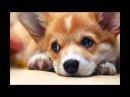 Моя любимая порода собак Вельш-Корги♥ слайд-шоу