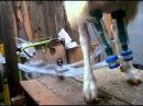 Дойка коз доильным аппаратом