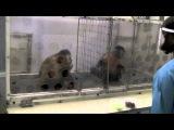 Dois macacos pagos desigualmente.