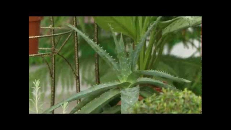 Растения для очищения воздуха. Цветы в доме. Выпуск 1