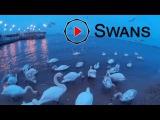 Swans. Лебеди.