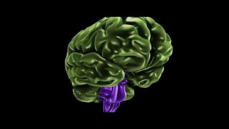 Анатомия промежуточного мозга, таламуса и гипоталамуса