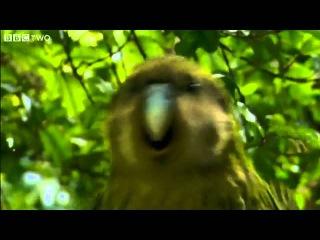 Какапо или совиный попугай