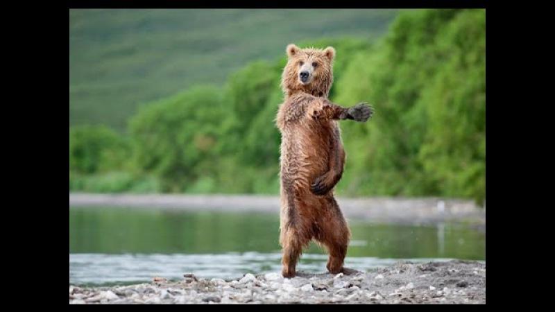 ТОП 5 Лучшие видео с медведем. Медведь приколы. TOP 5 best video Funny video with cubs