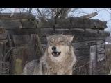 Радиоактивные волки Чернобыля. Документальный фильм и факты про Чернобыль